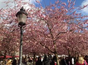 cherry_blossum_2o