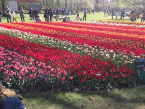 tulip_rows