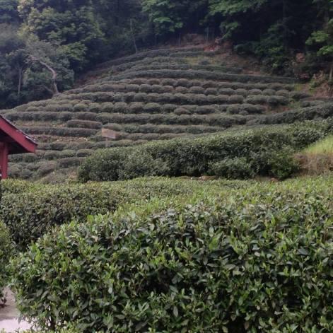 green_tea_o